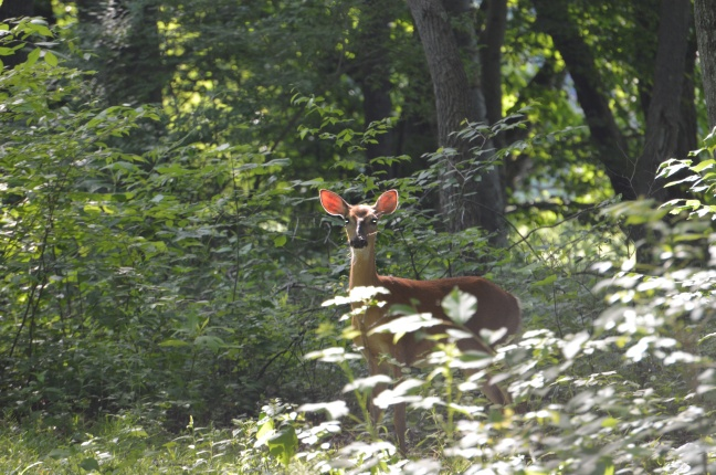 Original image of Doe we met on our morning walk