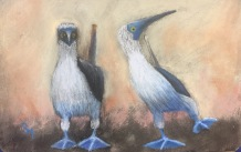 Blue Footed Boobys, 5x7, January 2017